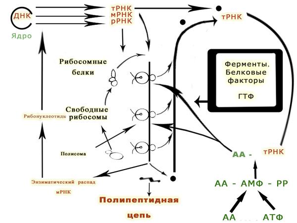 Полимембранные фагосомы